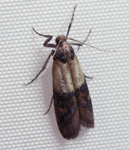 Pantry moths are having sex on your food