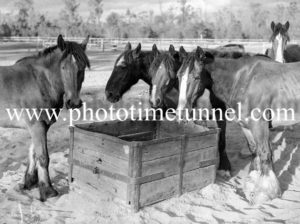 Pit horses at a Hunter Valley coalmine, August 7, 1945.
