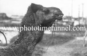 One of Dick Jones's camels in Newcastle, NSW, October 21, 1937.