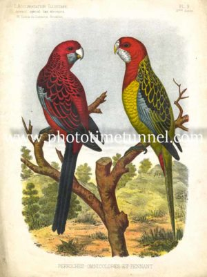 Perruches Omnicolores et Pennant (Rosellas), lithograph from Belgian journal L'Acclimation Illustree.