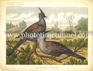 Les Colombes Lophotes (topknot pigeons), lithograph from Belgian journal L'Acclimation Illustree.