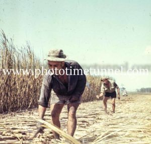 Cane-cutters near Ingham, Queensland, circa 1960s. (2)