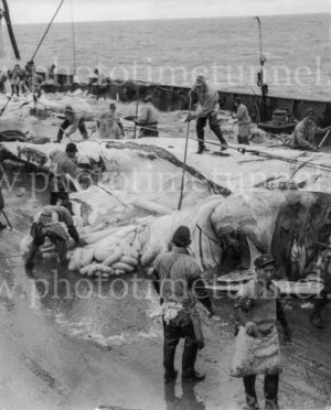 Whale being cut up on the deck of a Japanese whaling ship, circa 1950s