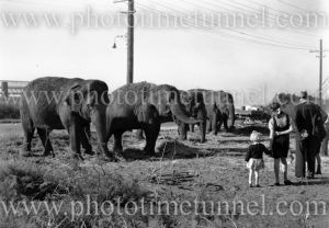 Elephants of Wirth's Circus at Newcastle, NSW, May 1945.