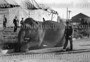 Elephant of Wirth's Circus at Newcastle, NSW, May 1945.