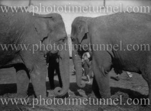 Two elephants of Wirth's Circus at Newcastle, NSW, May 1945.
