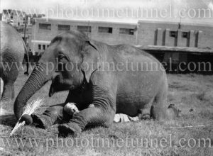 Elephant of Wirth's Circus with boy at Newcastle, NSW, May 1945.